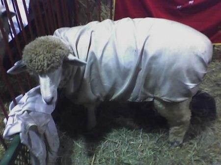 sheepcoat